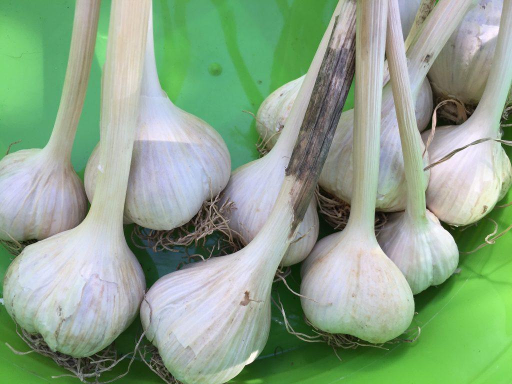 Organic Garlic From HeartBeet Farms