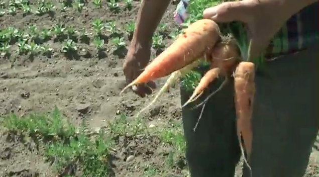 Early Girl Farm Carrots