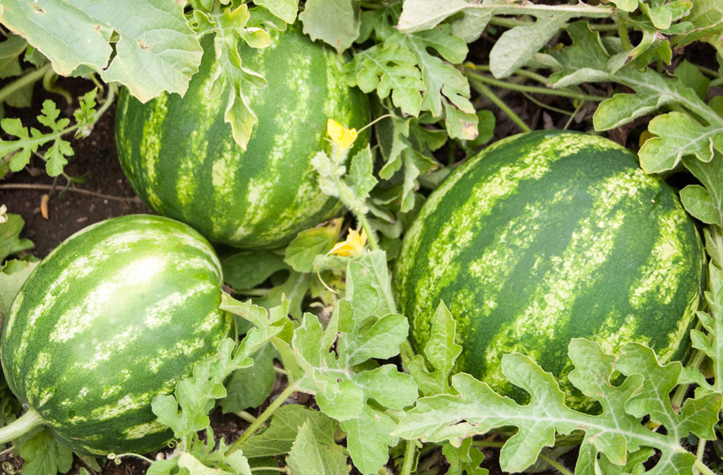 Sweet Watermelons from Alfred Hobbs