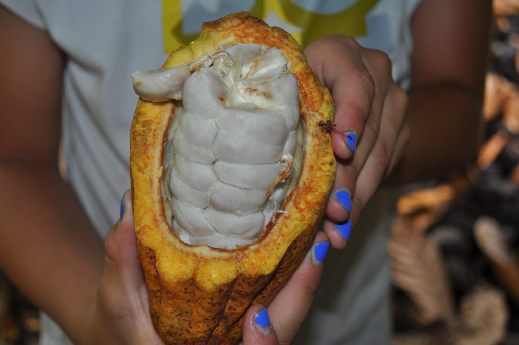 Inside of Cacao Pod at the Cacao Farm