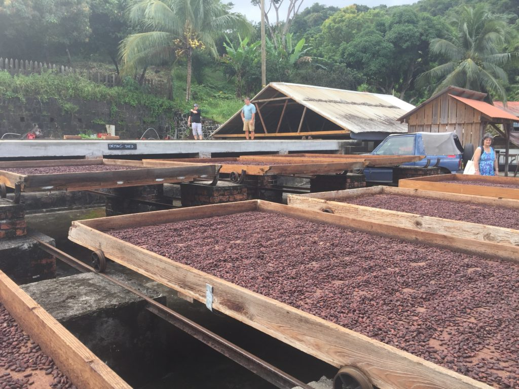 Drying the Cacao Beans at Crayfish Bay Organics