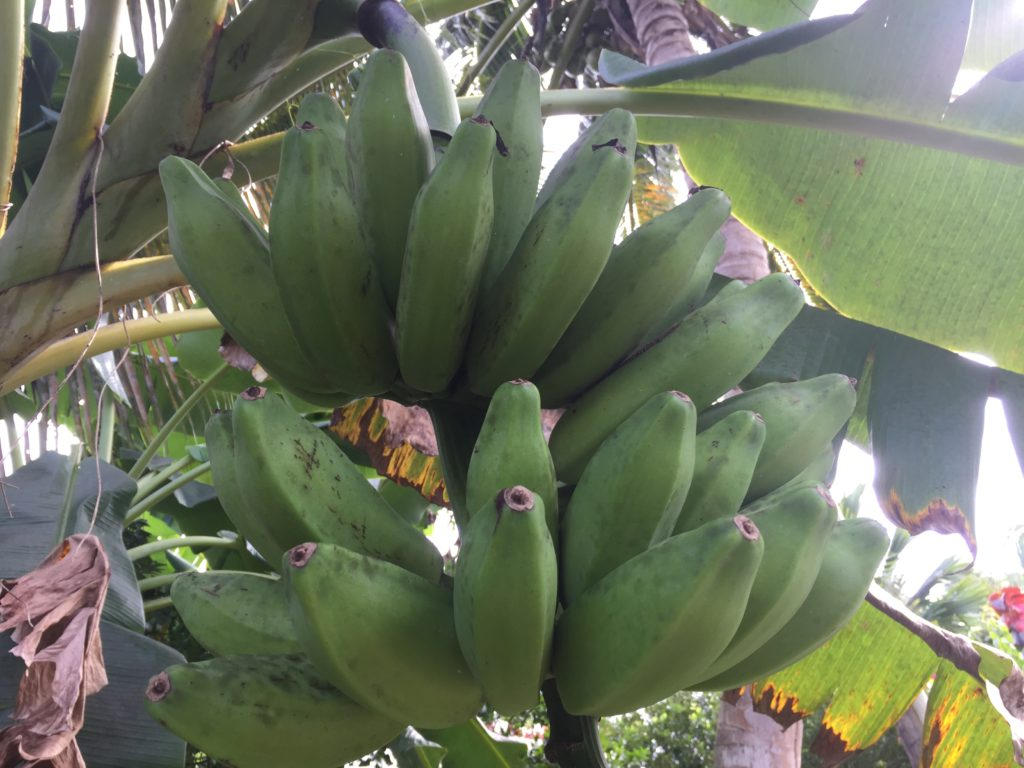 Plantains from Grenada