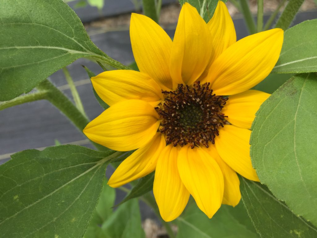 First Sunflower 2018