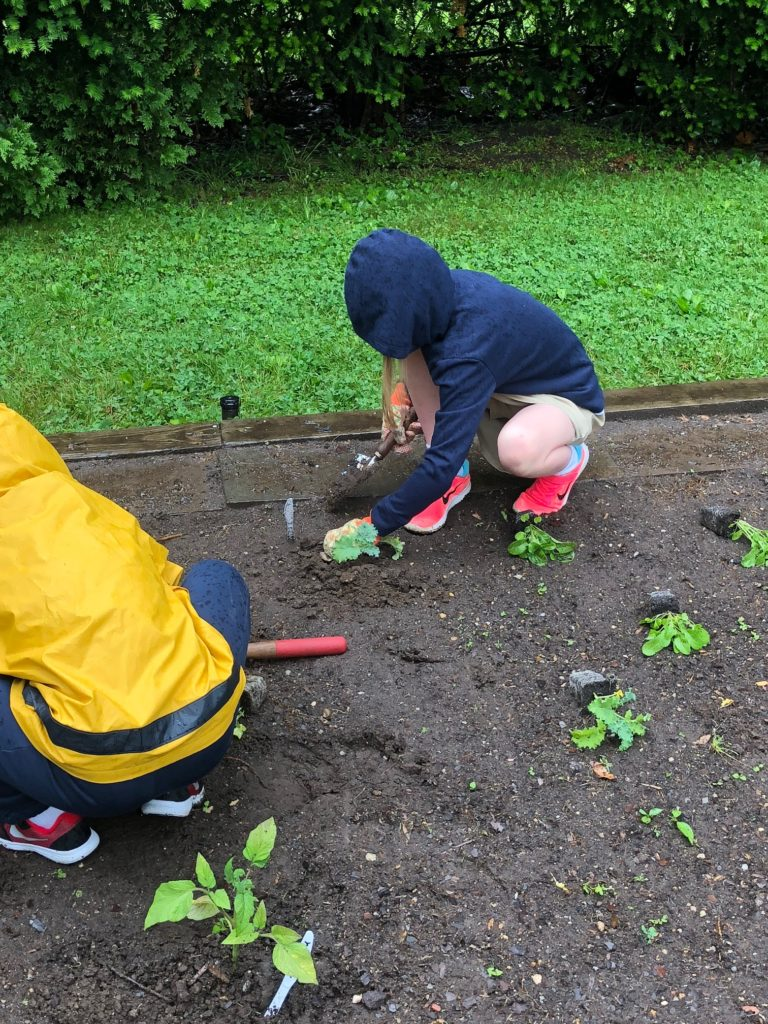 Planting arugula in the school garden