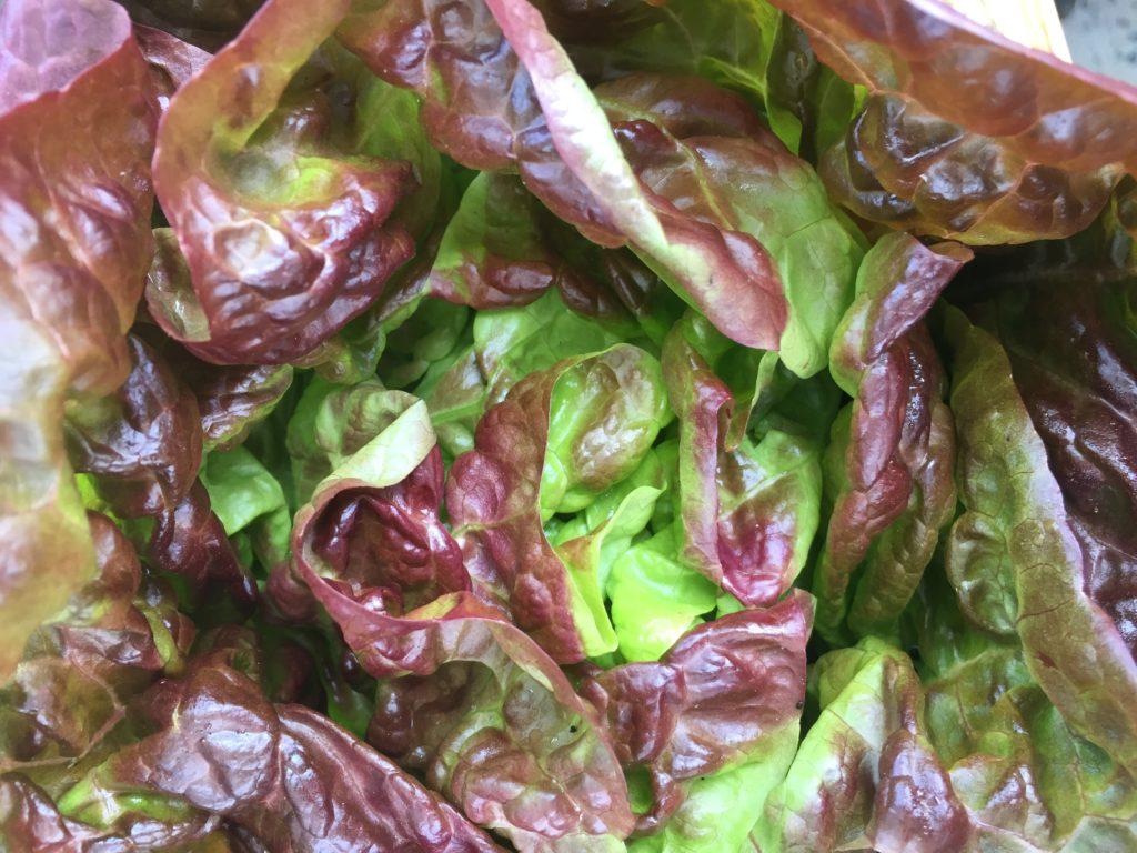 Red Butter Crunch Lettuce