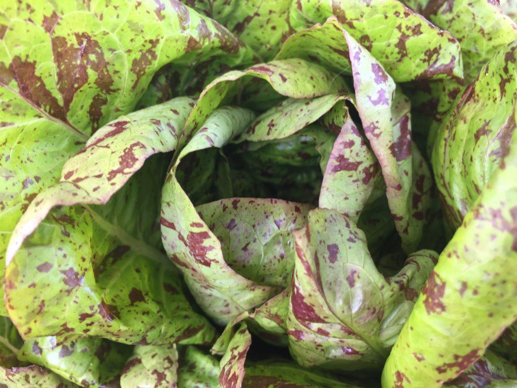 Spotted Romaine Lettuce