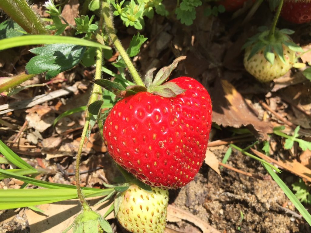 Strawberry 2018
