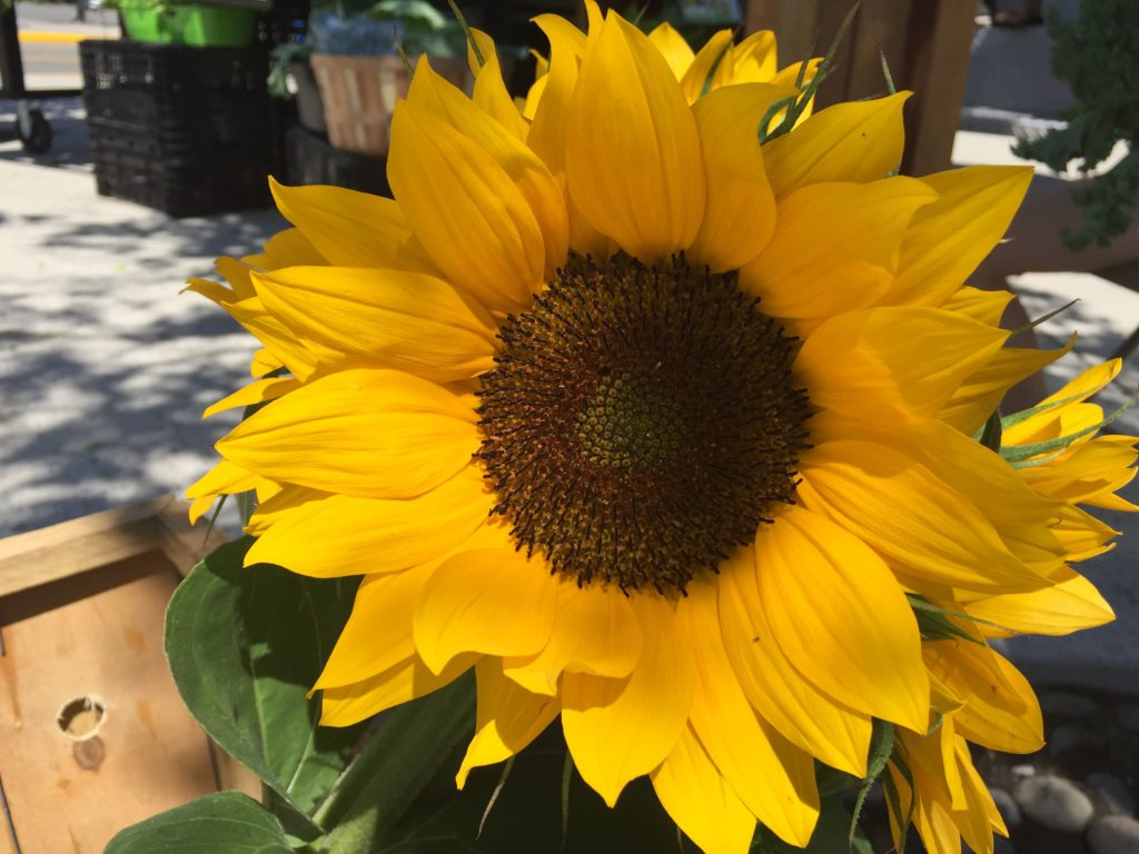 first sunflowers June 2018