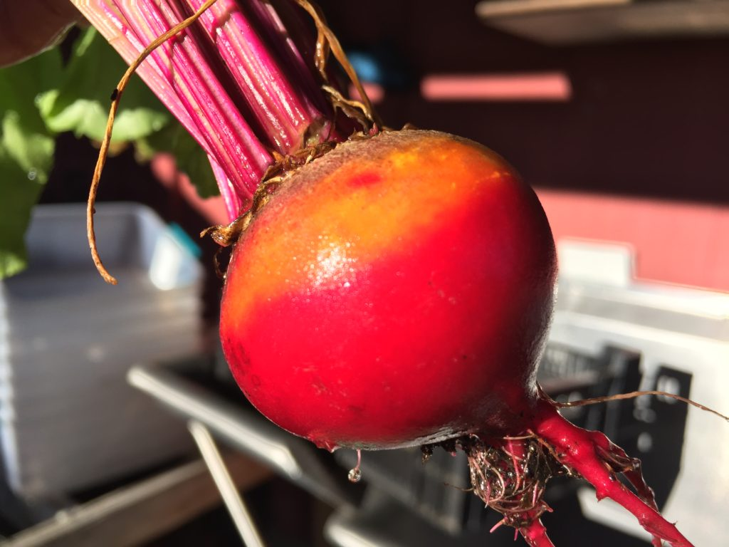 Multicolor Beet from HeartBeet Farms