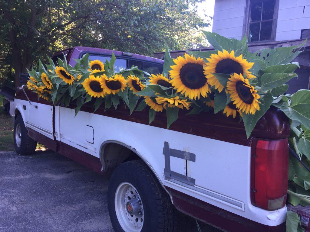 Sunflowers on farm truck