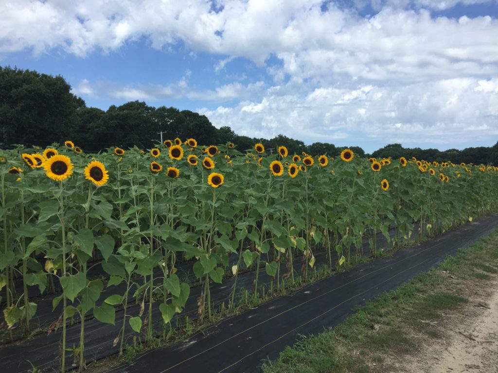Sunflower Patch at HeartBeet Farms