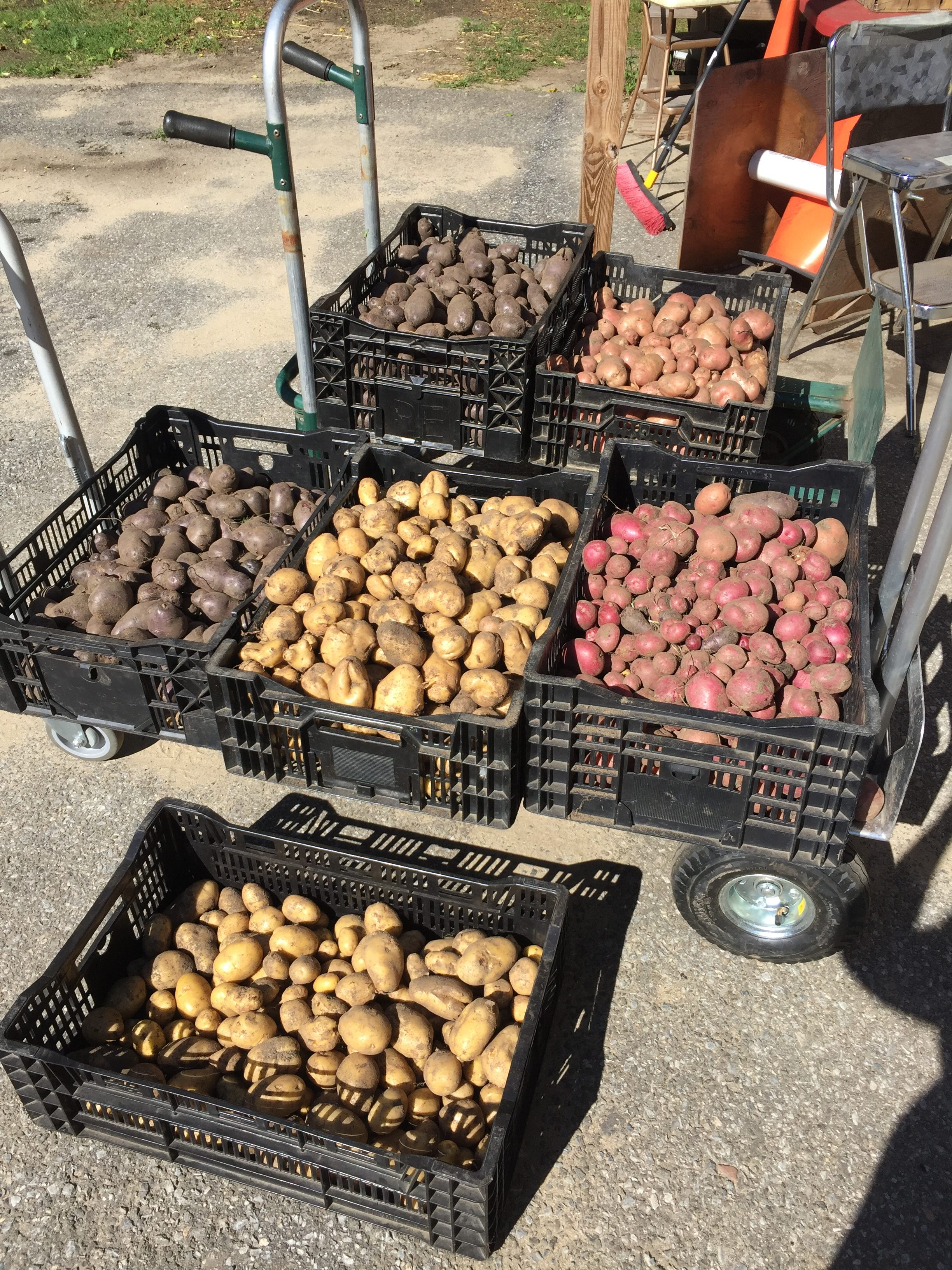 All Blue, Desiree, Mountain Rose, Red Gold & Yukon Potatoes from HeartBeet Farms