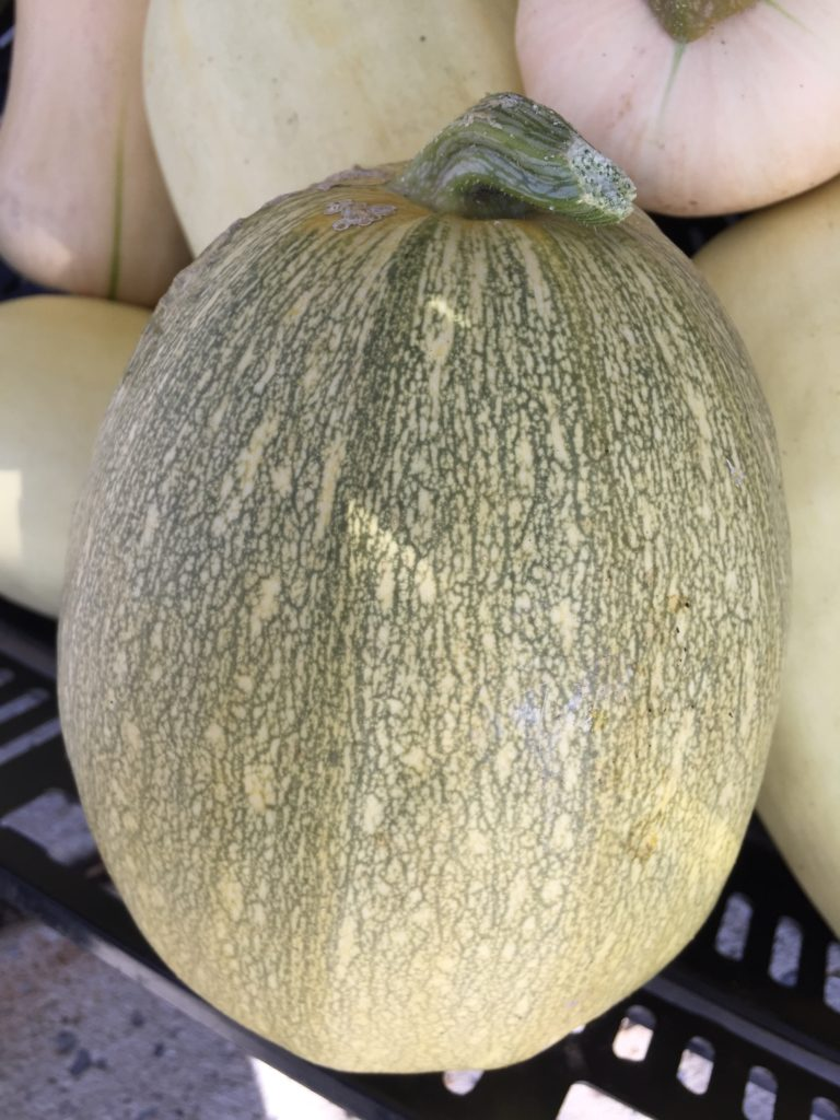 Spaghetti Squash from HeartBeet Farms