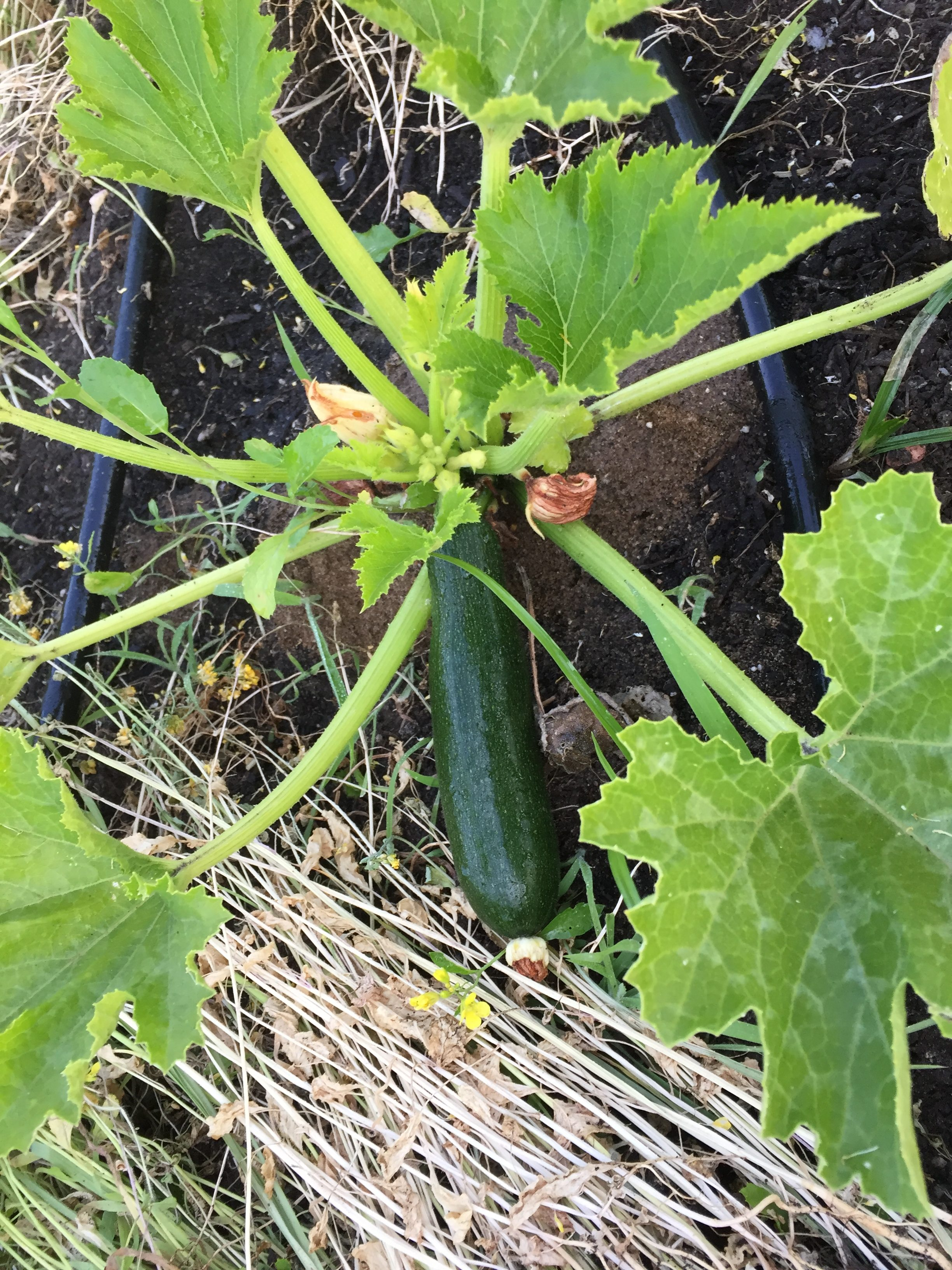 Zucchini Plant at HeartBeet Farms