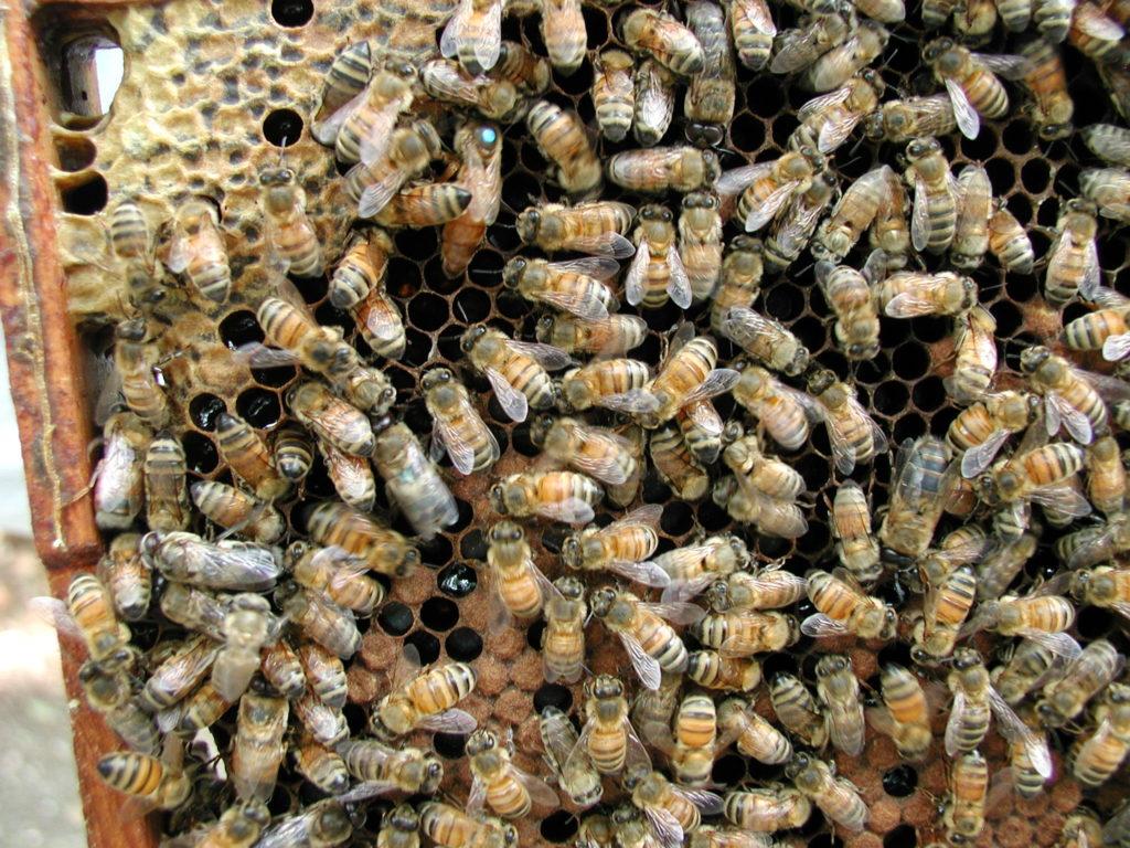 Honeybees making local honey